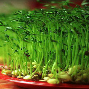 آموزش کاشت سبزه عدس برای عید