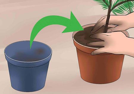 عکس تعویض گلدان کاج مطبق wikihow