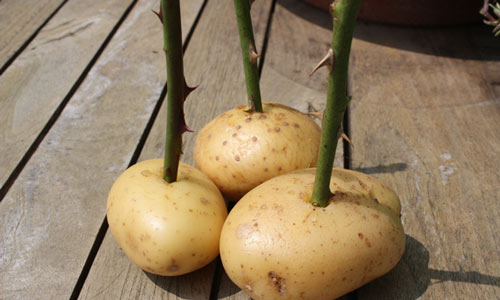 عکس روش قلمه رز با سیب زمینی