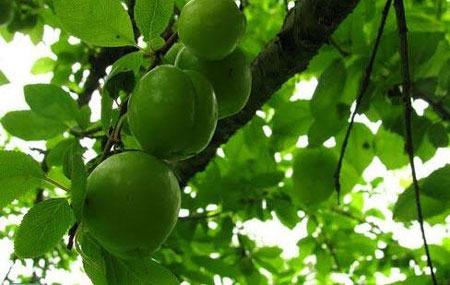 عکس گوجه سبز روی درخت